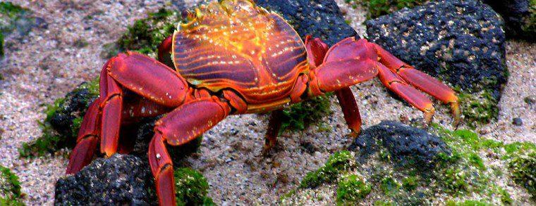 p_galapagos_crab
